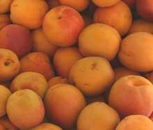 Abrikoskerneolie / abrikosolie udvindes fra abrikoskerner