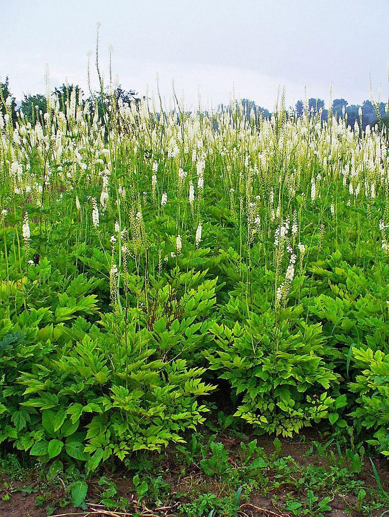 Den latinske betegnelse for sølvlys er 'Actaea racemosa'