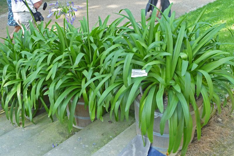 Her ses bladene på Agapanthus africanus