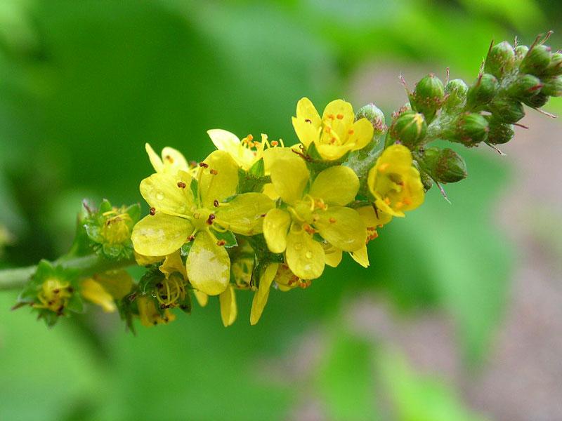 Agrimonia gryposepala er den mest udbredte agermåneart i Nordamerika