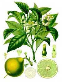 Bergamotolie udvindes af citrusfrugten bergamot