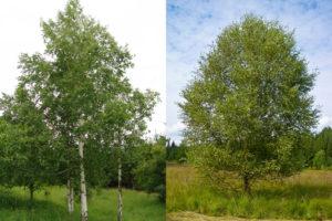 Der findes 2 hjemhørende arter af birketræer i Danmark; vortebirk og dunbirk