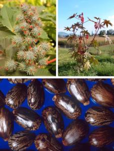 Castor olie stammer fra Ricinus communis