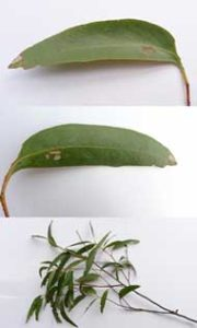 Eucalyptusolie kan også staves eukalyuptusolie