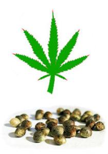 Hampeolie stammer fra hampeplantens frø