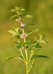 Japansk pebermynteolie stammer fra den Japanske mynte (Mentha arvensis)