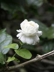 Jasminolie stammer fra planteslægten Jasmin (Jasminum)