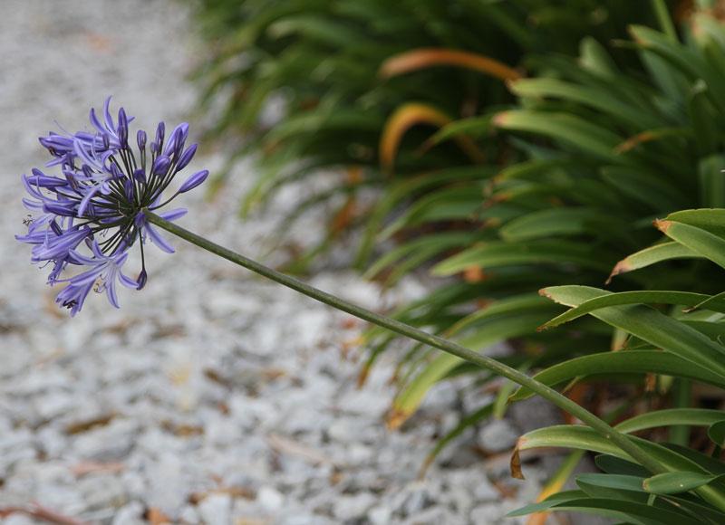 Här är Kärleksliljans blommor, blad och stjälkar