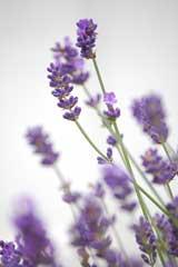 Lavendelolie udvindes af blomster i lavendel-slægten