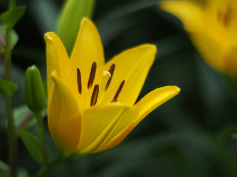 En lilje af arten 'Lilium maculatum'
