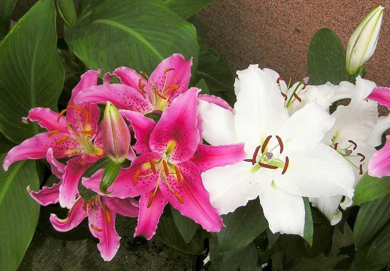 Her ses lyserøde og hvide liljer af arten 'Lilium longiflorum'