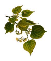 Naturmedicin kan med fordel anvendes til behandling af bylder