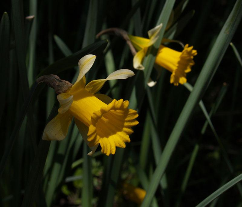Påskliljor