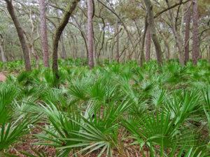 Savpalme kaldes også 'saw palmetto' og vokser kun i visse dele af USA