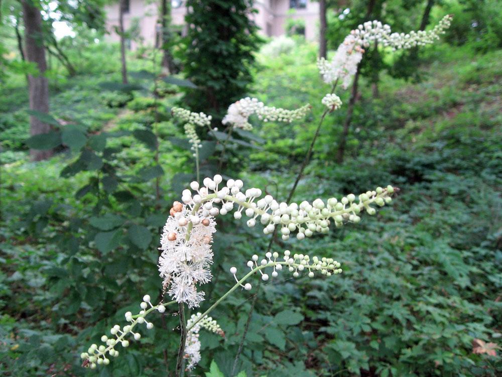 Sølvlys er en staude, der blomstrer forholdsvist sent