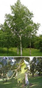 Vortebirkens bark og blade bruges til forskellige naturmedicinske formål